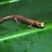 Bolitoglossa walkeri - Photo (c) carlosanfibio, todos los derechos reservados, uploaded by Carlos Eduardo Ortiz Yusty