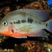 Firemouth Cichlid - Photo (c) Konstantin Gerasimov, some rights reserved (CC BY)