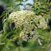 American Black Elderberry - Photo (c) Rison Thumboor, some rights reserved (CC BY-SA)