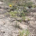 Thelesperma longipes - Photo (c) gshinton, כל הזכויות שמורות