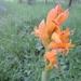 Cutzis Naranja - Photo (c) J Alejandro González Castillo, todos los derechos reservados