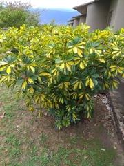 Schefflera arboricola image