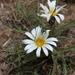 Gazania krebsiana serrulata - Photo (c) Michele Walters, todos los derechos reservados