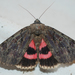 Darling Underwing - Photo (c) Larry Clarfeld, all rights reserved