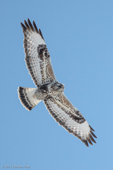 Rough-legged Hawk - Photo (c) TroyEcol, all rights reserved, uploaded by Declan Troy
