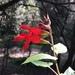 Salvia Mexicana Escarlata - Photo (c) Pepe Ramírez, todos los derechos reservados