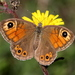 Large Wall Brown - Photo (c) Raniero Panfili, all rights reserved