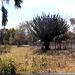 Stenocereus huastecorum - Photo (c) Enrique Flores, todos los derechos reservados