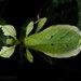 Cryptophyllium chrisangi - Photo (c) Kenneth Chin, todos los derechos reservados