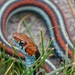 San Francisco Garter Snake - Photo (c) Lou Boyer, all rights reserved