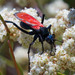 Pepsis grossa - Photo (c) BJ Stacey, all rights reserved