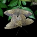 Feigeria magna - Photo (c) Rainer Deo, todos los derechos reservados