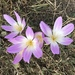 Giant Meadow Saffron - Photo (c) Cavid Qara, all rights reserved