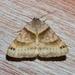 Caenurgina crassiuscula - Photo (c) treichard, todos los derechos reservados, uploaded by Timothy Reichard
