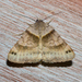 Clover Looper Moth - Photo (c) treichard, all rights reserved, uploaded by Timothy Reichard