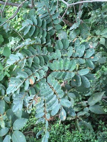 Machaerium biovulatum image