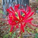 Red Spider Lily - Photo (c) lburditt, all rights reserved