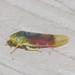 Erythridula crevecoeuri - Photo (c) treichard, todos os direitos reservados, uploaded by Timothy Reichard
