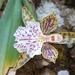 Aspasia variegata - Photo (c) Mequiel Zacarias Ferreira, kaikki oikeudet pidätetään