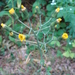 Rough Hawkweed - Photo (c) Daniel Carter, all rights reserved