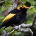 Regent Bowerbird - Photo (c) Andrew Rock, all rights reserved