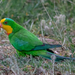 Superb Parrot - Photo (c) Jamie Dreamsalot Ramsay, all rights reserved