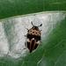 Mycotretus ornatus - Photo (c) Anderson Rabello Pereira, todos los derechos reservados