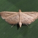 Lesser Canna Leafroller Moth - Photo (c) Kimberlie Sasan, all rights reserved
