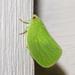 Acanaloniidae - Photo (c) treichard, todos los derechos reservados, uploaded by Timothy Reichard