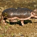 Northern Naked-tailed Armadillo - Photo (c) Felipe Anaya Osorio, all rights reserved