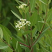 Hemp Dogbane - Photo (c) J. N. Stuart, some rights reserved (CC BY-NC-ND), uploaded by James N. Stuart