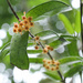 Hoya pandurata - Photo (c) Kawin Jiaranaisakul, όλα τα δικαιώματα διατηρούνται