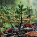 Peperomia leptophylla - Photo (c) Sebastian Zorrilla De La Torre, todos los derechos reservados