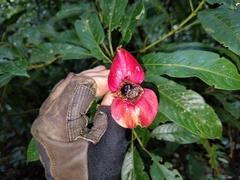 Psychotria elata image