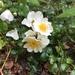 Rosa lucieae - Photo (c) Yanghoon Cho, todos los derechos reservados