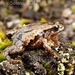 Walker's Sierra frog - Photo (c) beto, all rights reserved, uploaded by Beto_Rueda