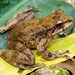 Cryptobatrachus boulengeri - Photo (c) beto, all rights reserved, uploaded by Beto_Rueda