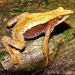 Atelopus nahumae - Photo (c) beto, all rights reserved, uploaded by Beto_Rueda