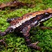 Atelopus laetissimus - Photo (c) beto, all rights reserved, uploaded by Beto_Rueda