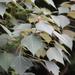 Mallotus paniculatus - Photo (c) CKLI, todos los derechos reservados