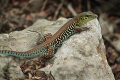 Rainbow Ameiva - Photo (c) Luis Angel Aguilar Orea, all rights reserved