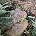 Ganoderma polychromum - Photo (c) amarae99, todos los derechos reservados