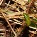 Stenomela pallida - Photo (c) Missa Villena, all rights reserved
