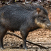 White-lipped Peccary - Photo (c) Jessica dos Anjos, all rights reserved