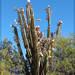 Cereus hildmannianus - Photo (c) RAP, todos os direitos reservados