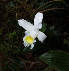 Sobralia macrophylla image