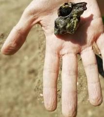 Hexaplex trunculus image