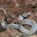 Spotted Line Dwarf Snake - Photo (c) Johnny Baakliny, all rights reserved