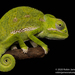 Flap-necked Chameleon - Photo (c) Robin James, all rights reserved