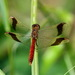 Banded Darter - Photo (c) stijn-de-win, all rights reserved